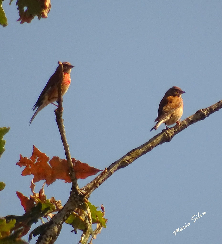 Águas Frias (Chaves) - ... aves (_Pintarroxo - Carduelis cannabina) empoleiradas no ramo ...