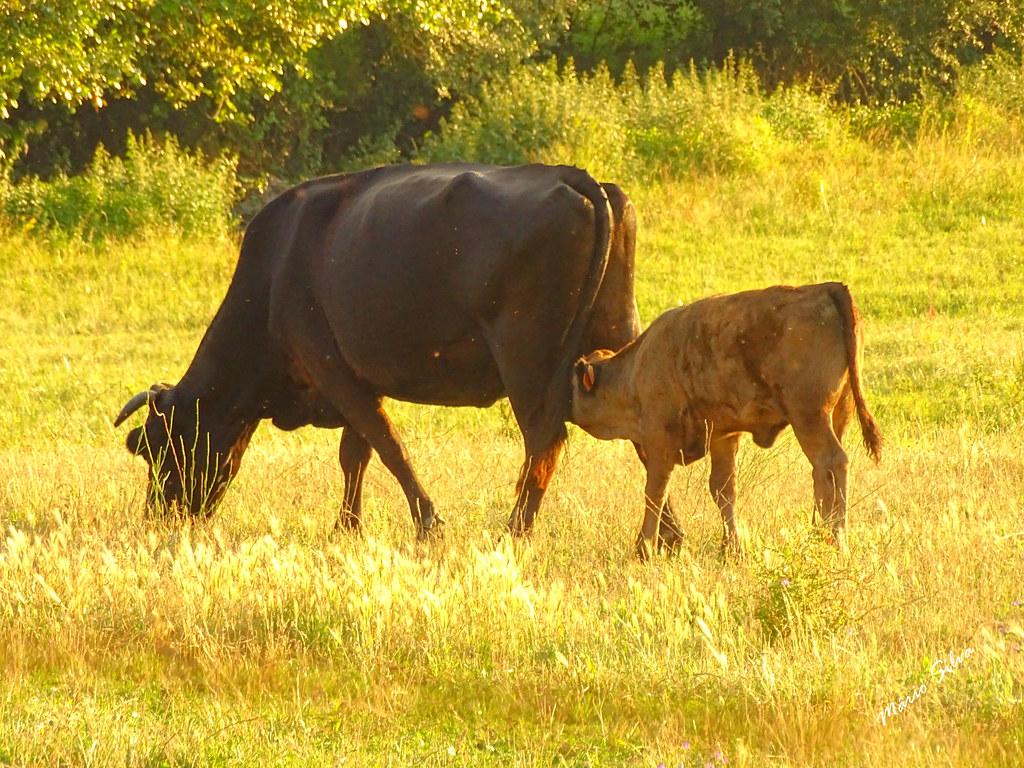 Águas Frias (Chaves) - ... vitelo tomando o pequeno-almoço, diretamento do produtor ao consumidor ...