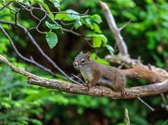 Squirrel (Karen_Chappell) Tags: squirrel animal nature green tree redsquirrel newfoundland nfld canada atlanticcanada avalonpeninsula eastcoasttrail eastcoast flatrock brown branch cute