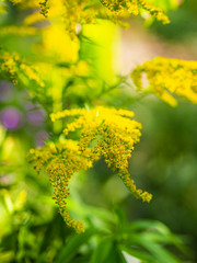 Lady's bedstraw (Raoul Pop) Tags: autumncolors color garden home nature summer sunlight time