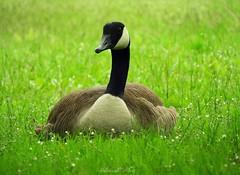 On the grass (NaturewithMar) Tags: crazytuesday theme onthegrass enlahierba canada goose duck bird aquatic grass greenbackground park milwaukee