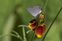 Gray Hairstreak (Stephen J Pollard (Loud Music Lover of Nature)) Tags: mexicanhat flower flor florsilvestre wildflower grayhairstreak sombreromexicano plant planta alasdetelarañagris strymonmelinus