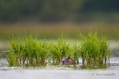 Ragondin-Myocastor coypus (PatNik01) Tags: mammifere ragondin myocastorcoypus eau etang dombes france nikon nature naturesauvage wild wildlife affutflottant roseau