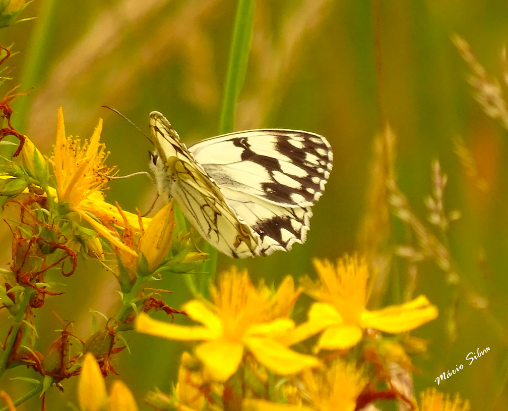 Águas Frias (Chaves) - ... a borboleta (Melanargia galathea) e as flores amarelas ...