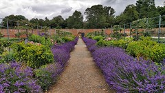 Lavender at Attingham (Bob.W) Tags: attinghampark nationaltrust lavender walledgarden shrewsbury shropshire