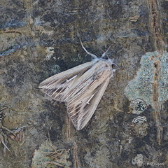 L-album Wainscot / L Blanc (Dr Wood's Wildlife Photos 2019) Tags: lalbumwainscot mythimnalalbum crochetblanc 2202 lblanc weisesl wtteluil hakaolkiyökkönen ltecknatgräsfly noctuidae moth