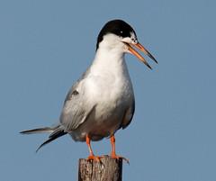 Forster's Tern in a Heat Wave (ksblack99) Tags: forsterstern sternaforsteri panting tern bird heatwave michigan