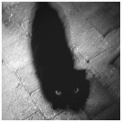 Look me in the eye (Fr@ηk ) Tags: mrtungsten62 cat bw art print grain 50mm eyes icm cinematic blackandwhite dro202 albumart cdart vinylart cover