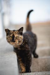 猫 (fumi*23) Tags: ilce7rm3 sony sel85f18 emount fe85mmf18 85mm a7r3 animal katze cat gato feline neko ねこ 猫 ソニー bokeh dof