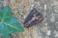 Bird's Wing (Dr Wood's Wildlife Photos 2019) Tags: birdswing noctuellehérissée dypterygiascabriuscula trauereule vogelwiekje syrefly brunsvartsyrefly mørkskræppeugle tervayökkönen 2301 moth noctuidae