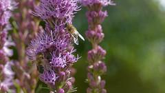 Bees on liatris spicata (nyki.net) Tags: bees garden liatris spicata