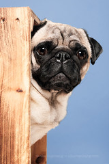 Pug in a crate (Wieselblitz) Tags: dog dogs dogphotographer dogphotography dogportrait doginthestudio elkevogelsang wieselblitz studio studioportrait studiodogportrait studiodog pet pets petphotography petphotographer petportrait commercialdogphotographer commercialdogphotography commercialpetphotographer commercialphotography commercialpetphotography pug pugs pugportrait pugphotography pugsonality