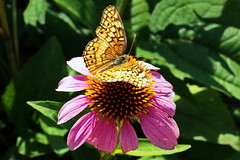 Variegated Fritillary (Jim Atkins Sr) Tags: variegatedfritillary euptoietaclaudia butterfly insect flower newbern northcarolina tryonpalace sony sonya58 sonyphotographing