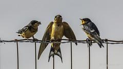 Barn Swallows (Bob Gunderson) Tags: alamedacounty arrowheadmarsh barnswallow birds california eastbay hirundorustica northerncalifornia swallows