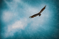 When your lens gives you lemons... (KWPashuk (Thanks for >3M views)) Tags: sony alpha a6000 55210mm lightroom luminar luminar2018 luminar3 luminar31 kwpashuk kevinpashuk turkeyvulture vulture soaring flight artsy nature muskoka ontario canada layers sky