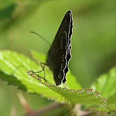 On The Edge (jo92photos) Tags: butterfly ringlet blackberry edge