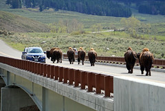 Stop for Bisons at Yellowstone National Park, WY (SomePhotosTakenByMe) Tags: bison animal tier wyoming yellowstone nationalpark yellowstonenationalpark outdoor usa america amerika unitedstates lamarvalley natur nature ontheroad bridge brücke auto car