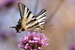 Papillon (clamar18) Tags: butterffly flower flambé verveine jardin nature papillon mérysurcher france vierzon