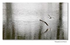 Taking off or landing? (Ann @nn) Tags: duck evening walk water birds flight ducks wings canon 70200