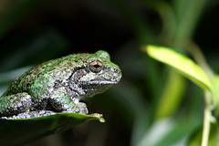 Gray Tree Frog (wildlifeninja) Tags: frog treefrog graytreefrog gray green amphibian animal leaf plant tropical nobody horizontal hylaversicolor hylachrysoscelis copesgraytreefrog