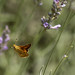 Woodland skipper butterfly in flight...I waited a long time to be able to catch this one moving off a lavender. I love watching