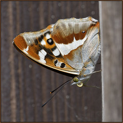 Purple Emperor (image 1 of 2) (Full Moon Images) Tags: woodwalton fen greatfen bcn wildlife trust nnr national nature reserve cambridgeshire insect macro purple emperor butterfly