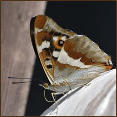 Purple Emperor (image 2 of 2) (Full Moon Images) Tags: woodwalton fen greatfen bcn wildlife trust nnr national nature reserve cambridgeshire insect macro purple emperor butterfly