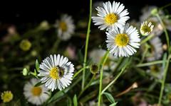 Halictid on daisies (1/2) (PChamaeleoMH) Tags: macro daisies garden bees flash insects halictidbees