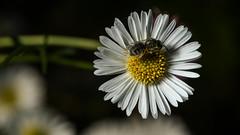 Halictid on daisy (2/2) (PChamaeleoMH) Tags: macro daisies garden bees flash insects halictidbees