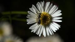 Halictid on daisy (1/2) (PChamaeleoMH) Tags: macro daisies garden bees flash insects halictidbees