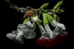 Honey bee scaling Salvia (2/2) (PChamaeleoMH) Tags: flowers home garden bees flash honeybees macro insects salvia