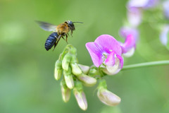 Carpenter bee (jim_mcculloch) Tags: 1156 bees