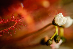 4355 Sundew (paule48) Tags: nikon drosera droserafiliformis pink red summer white ontario canada flower color green closeup circle season leaf bokeh shapes wildflower carnivorous brucepeninsulanationalpark leadingline elementofdesign plantpart threadleavedsundew alittlebeauty coth coth5