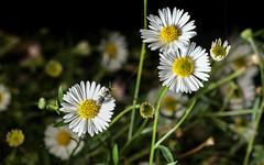 Halictid on daisies (2/2) (PChamaeleoMH) Tags: daisies garden bees flash insects halictidbees macro