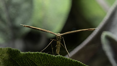 Plume moth looking cross (PChamaeleoMH) Tags: flash garden insects macro plumemoth