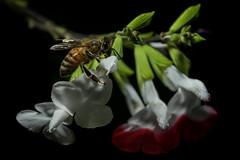 Honey bee scaling Salvia (1/2) (PChamaeleoMH) Tags: flowers macro home garden bees flash insects honeybees salvia