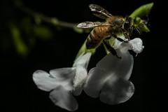 Honey bee climbing Salvia (2/2) (PChamaeleoMH) Tags: flowers macro home garden bees flash insects honeybees salvia