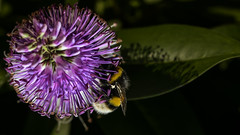 Bumble bee on Hebe (with shadows) (PChamaeleoMH) Tags: flowers home garden bees flash bumblebees hebe macro insects