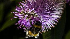 Bumble bee licking Hebe (PChamaeleoMH) Tags: flowers home garden bees flash bumblebees hebe macro insects