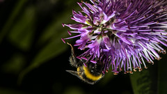 Bumble bee under Hebe (PChamaeleoMH) Tags: flowers home garden bees flash bumblebees hebe macro insects