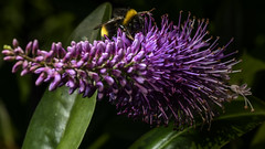 Bumble bee waving from Hebe (PChamaeleoMH) Tags: flowers home garden bees flash bumblebees hebe macro insects