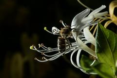 Honey bee leavingt honeysuckle (PChamaeleoMH) Tags: flowers home garden bees flash flight macro insects honeysuckle honeybees