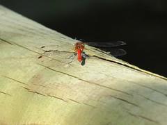 IMG_4457 (belight7) Tags: dragonfly nature burnham beeches england uk