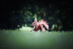 Squirrel (Soren Wolf) Tags: animal animals squirrel little cute short depth field eyes wildlife beautiful green light nature park stand standing nikon d750 300mm