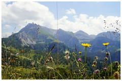 Alpen - Blümchen (tingel79) Tags: alpen alps sonyalpha58 bayern berchtesgaden landschaft landscape natur nature flower mountain berg blume blüte photograph photographie photography day germany sony sonnig
