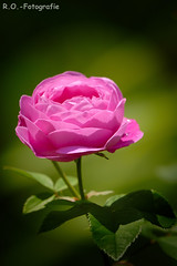 Rose (R.O. - Fotografie) Tags: rose garten garden nieheim rosa pink blume flower bokeh rofotografie nahaufnahme closeup close up panasonic lumix dmcgx8 dmc gx8 gx 8 leica 100400mm outdoor outside natur nature