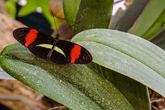 Postman butterfly (Stephen G Nelson) Tags: insect butterfly postman heliconius botanicalgarden tucson arizona