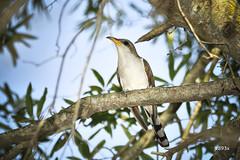 Yellow-billed Cuckoo (jt893x) Tags: 150600mm bird coccyzusamericanus cuckoo d500 jt893x nikon nikond500 sigma sigma150600mmf563dgoshsms yellowbilledcuckoo thesunshinegroup coth5 coth alittlebeauty