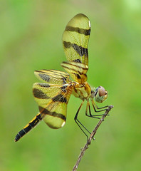 lady Halloween (Vicki's Nature) Tags: halloweenpennant female big dragonfly brown gold wings wind spots biello georgia vickisnature canon s5 7273