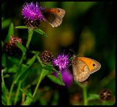Two x Two (pitkin9) Tags: butterflies flora nature outdoorphotography makemesmile